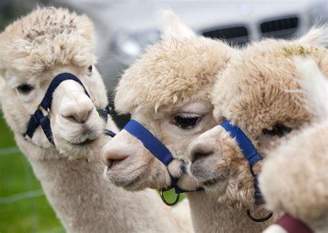 bobcat alpacas home page