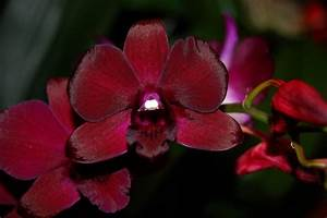 Black Red Orchid Plant Buy Online Dendrobium Orchids