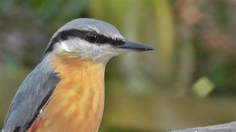 nuthatch bird song and nature sounds birds singing one