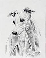 Whippet Greyhound Bonny Acquerello Levriero Canine sketch template