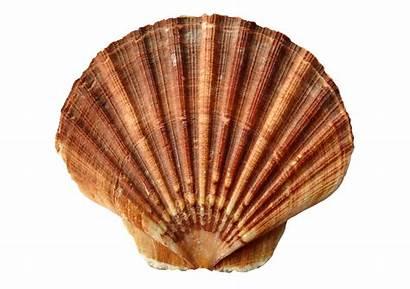 Clam Shell Clipart Shells Transparent Sea Sand