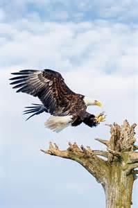 photograph bald eagles tips  capturing