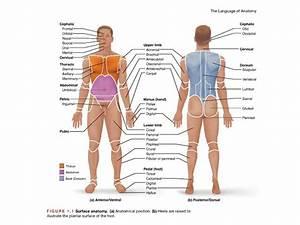 Exercise 1 The Language Of Anatomy