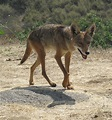 California Valley coyote - Wik...