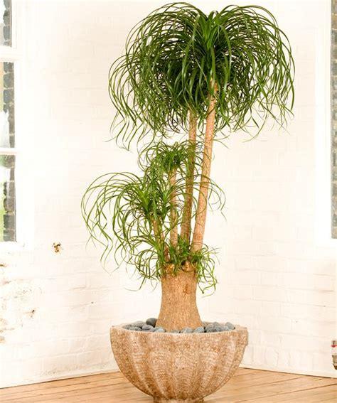 beaucarnea recurvata ponytail palm plants plant decor