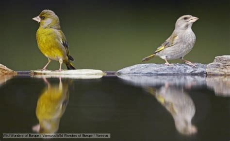 bbc nature finches videos news and facts