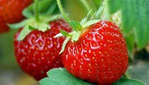 Erdbeeren Wann Pflanzen : erdbeeren pflanzen im garten oder auf dem balkon ~ Watch28wear.com Haus und Dekorationen