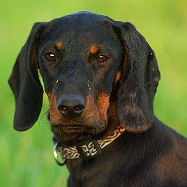 polish hunting dog breed guide learn   polish