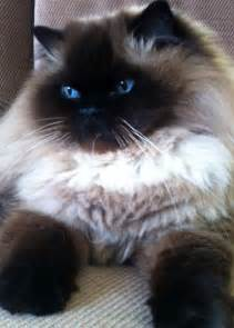 himalayan cat 25 best ideas about himalayan cat on pretty
