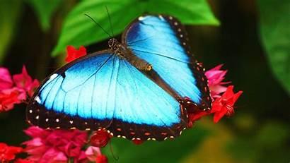 Butterfly Butterflies Wallpapers Flowers Desktop Nature Backgrounds