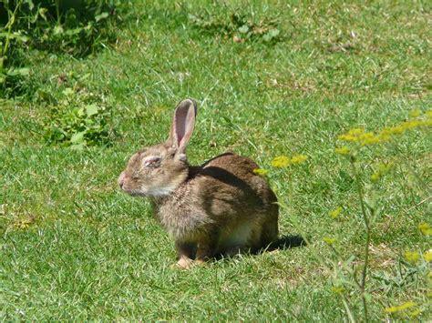 cuisiner un lapin de garenne le lapin de garenne quel est cet
