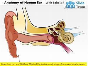 Anatomy Of Human Ear Medical Images For Power Point
