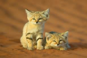 sand cat for cats you never knew existed animalanswers co