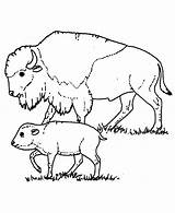Buffalo Coloring Bison Pages Drawing Care Taking Printable Cape Pag Luna Getdrawings Getcolorings sketch template