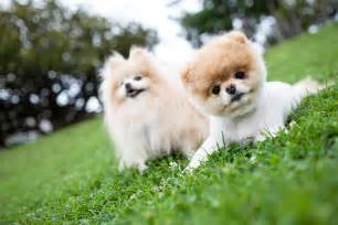 Boo Dogs Puppies