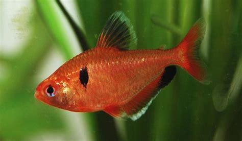 serpae tetra serpae tetra live fish tetras characins product detail premier pet pty ltd