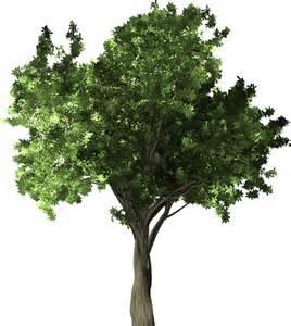 Zelkova Serrata Tree
