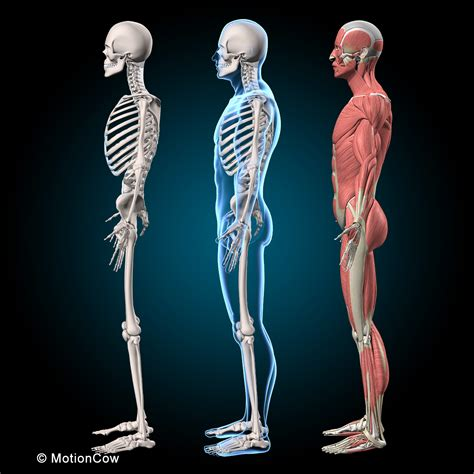 There are 206 bones in the human body. Muscles & Skeleton - MotionCow