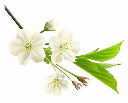 Flower Flowers Branch Clipart Spring Tree Jasmine