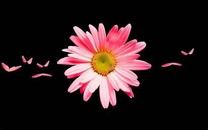 Daisy Pink Flower Wallpapers Widescreen 1680 1050