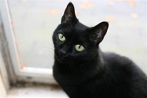 black cat superstition pin by opi cat on black cats 3 pinterest