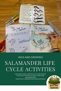 Salamander Life Cycle Activity