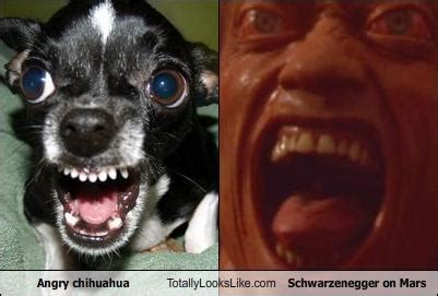 angry chihuahua totally   schwarzenegger  mars