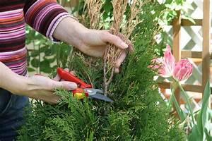 Kugel Trompetenbaum Schneiden Anleitung : thuja schneiden lebensbaum thuja occidentalis ~ Lizthompson.info Haus und Dekorationen