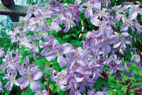 Kletterpflanzen Für Den Garten by Kletterpflanzen Als Sichtschutz Kletterpflanzen