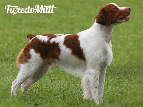hypoallergenic dog breeds do they exist tuxedomutt
