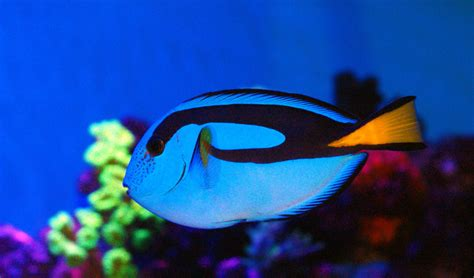 aquarium paracanthurus tang wikipedia hepatus fish reef puns regal ocean royal facts coral wikimedia upload fishery wiki