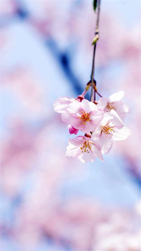mc wallpaper cherry blossom  gongsateam flower papersco