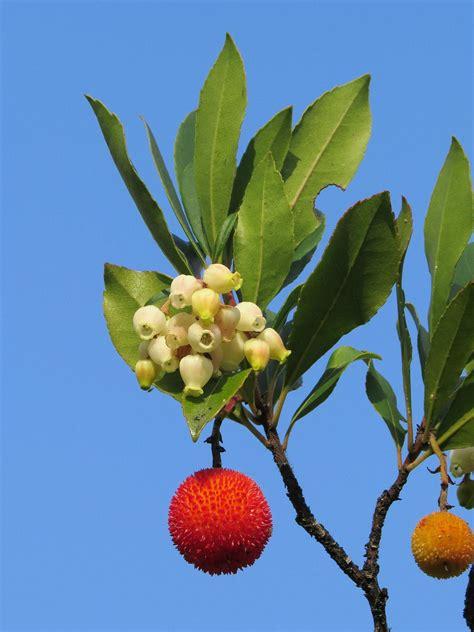 arbutus unedo wiktionary