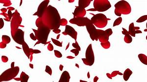 Falling And Swirling Red Rose Petals Over White Background ...