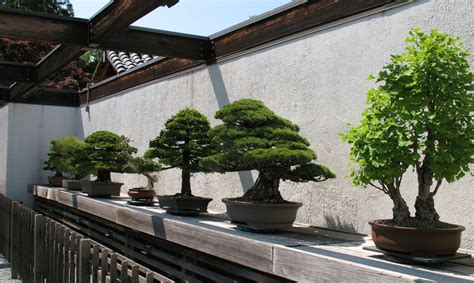 LU Botāniskajā dārzā izrādīs bonsai kociņu ekspozīciju ...