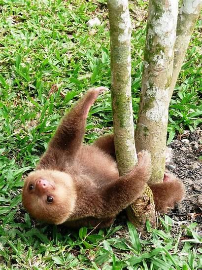 Sloth Hanging Sloths Cutest Animals Animal Adorable