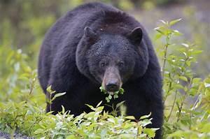 The Moment Emergency Services Encounter A Bear Raiding An