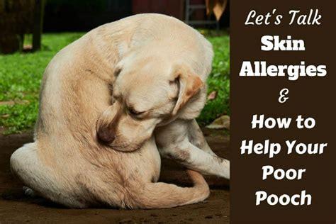 understanding dog skin allergies remedies treatment