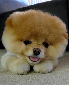 Cute Pomeranian Puppies Picture | Cute Puppy Images Pictures