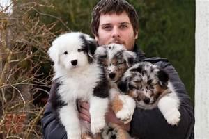 Hunde Sachen Kaufen : wir planen weihnachtsbabys australian shepherd hier gibt s informationen zur rasse i ~ Watch28wear.com Haus und Dekorationen