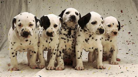 wallpaper dog puppy spot dalmatian desktop wallpaper