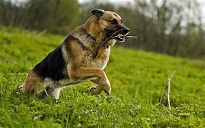 German Shepherd Dog HD Wallpapers 2013 ~ All About HD ...
