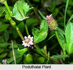 poduthalai indian medicinal plant
