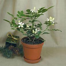 94 Best Logee's Fragrant Plants Images On Pinterest