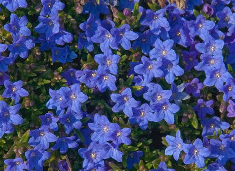 blue flower ground cover plants photo
