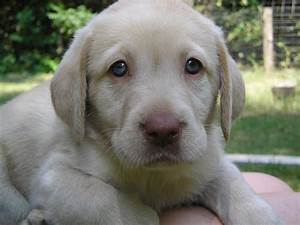 dudley lab - Google Search | ANIMALS | Pinterest | Labs ...