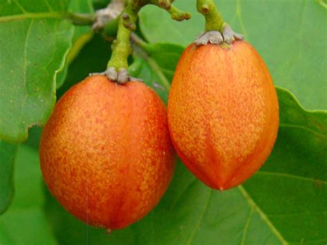 fruit that starts with the letter i fruit names starting with p fruit names a z with pictures