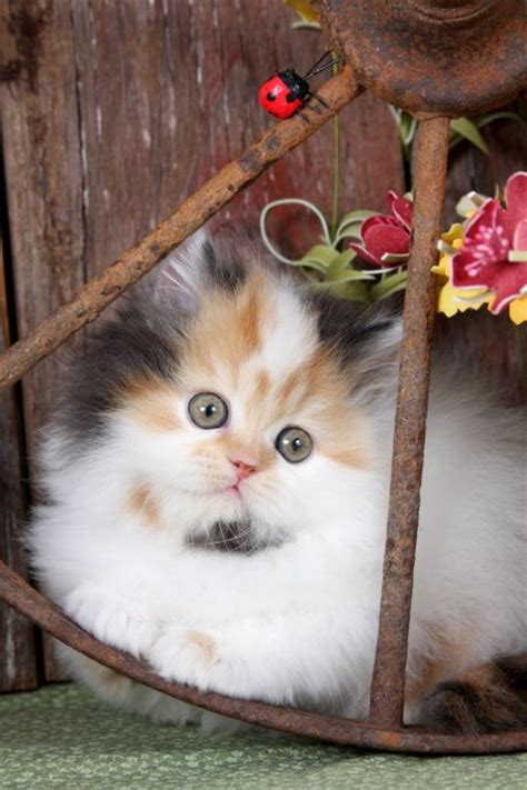 calico persian kittens calico persian cats calico cats calico persian cat breederspre