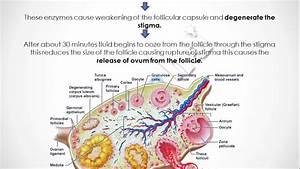 Human Reproduction 12th Diagram Human Reproduction Part 2 Class 12th Cbse Biology In Hindi