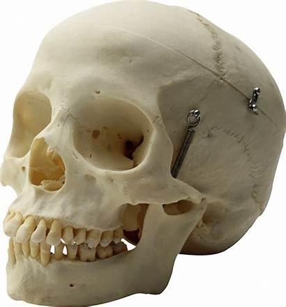 Skull Skeleton Transparent Bone Jaw Pngimg